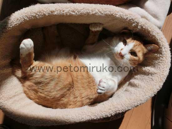 愛猫をペットとして出会うには里親募集やショップからの購入があります